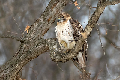 Red-tailed Hawk scouting the bird feeder for squirrels