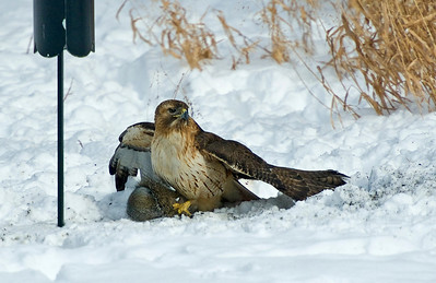 This Red-tailed Hawk didn't miss.  Poor gray squirrel.