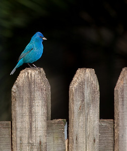 Indigo Bunting in my backyard.