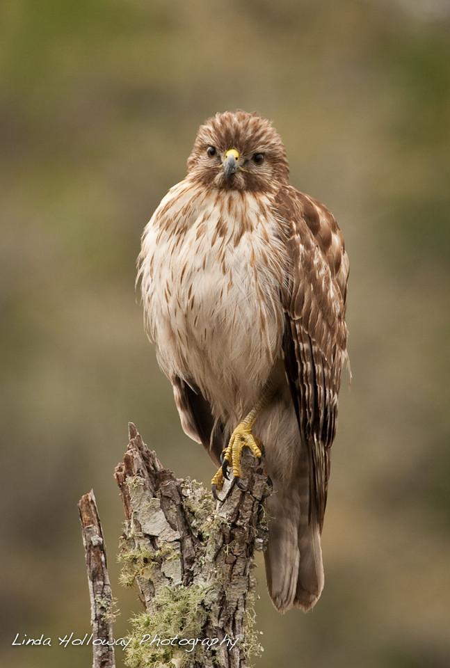 Red -Shouldered Hawk
