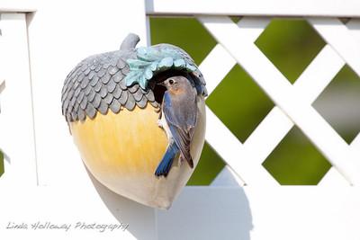 Easter Blue Bird
