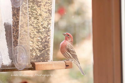 House Finch- Male