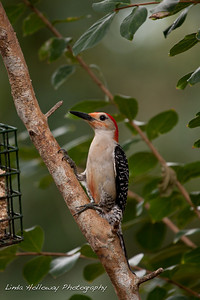 Red- Bellied Woodpecker
