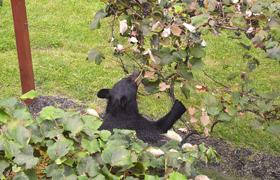 Black Bear w/Grapes