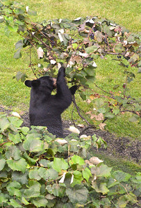 Black Bear Eating Kurt's Grapes