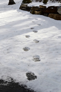 Bear Prints in Snow