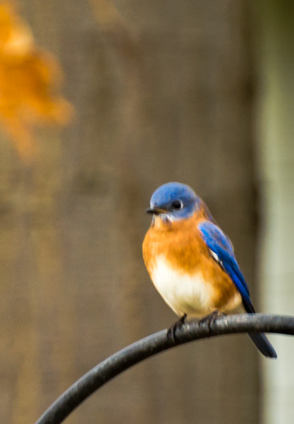Bluebirds aren't actually blue, did you know?