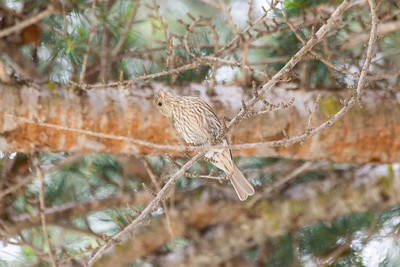 Female House Finch (Carpodacus mexicanus)