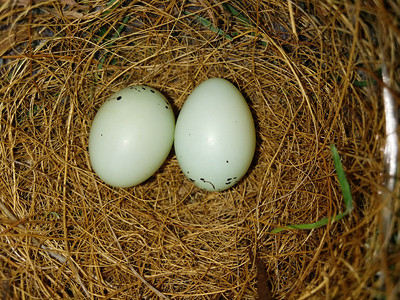 House Finch (Carpodacus mexicanus) Nest and Egg.