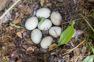Mallard Duck (Anas platyrhynchos) Nest and Egg.