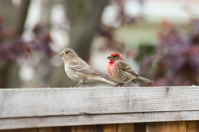 Male (right). Female (left). House Finch (Carpodacus mexicanus)