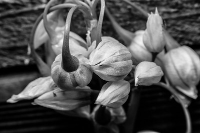 Lima Bean Flowers Macro