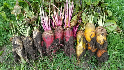 Beets grown at Great Lakes Staple Seeds