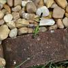 Erythemis simplicicollis - Eastern Pondhawk - Adult Female