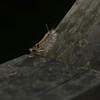 Halysidota tessellaris - Banded Tussock Moth