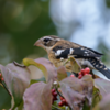 Immature Male Grosbeak