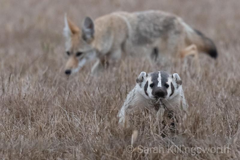 coyote surprise