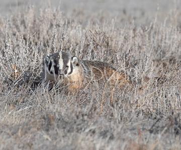 Badger-20