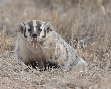 Badger-25