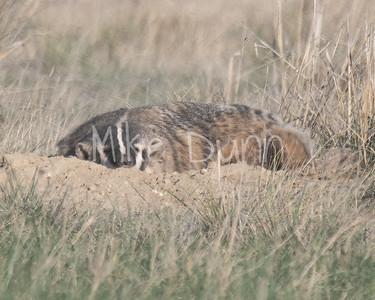 Badger-45