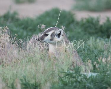 Badger-11