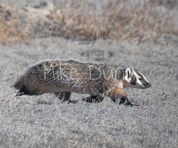 Badger-23