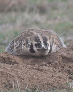 Badger-28
