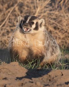 Badger-41