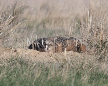 Badger-44