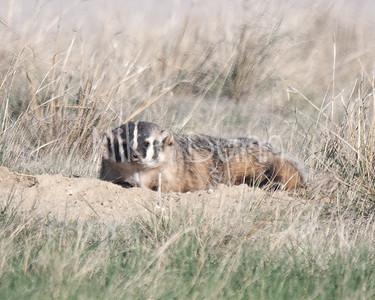 Badger-43