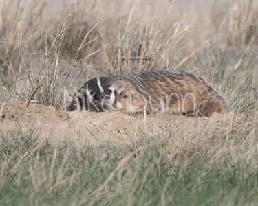 Badger-46