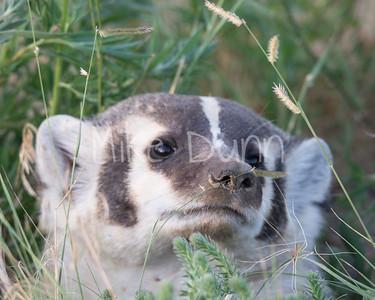 Badger-7