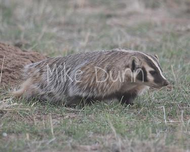 Badger-34