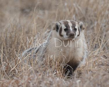 Badger-24