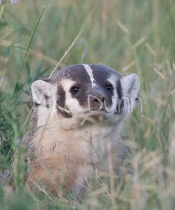 Badger-6