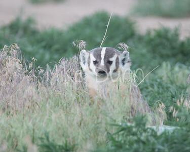 Badger-12