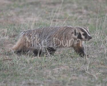Badger-36