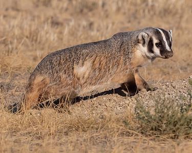 Badger-61
