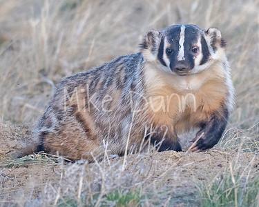 Badger-53