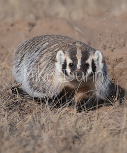 Badger-49