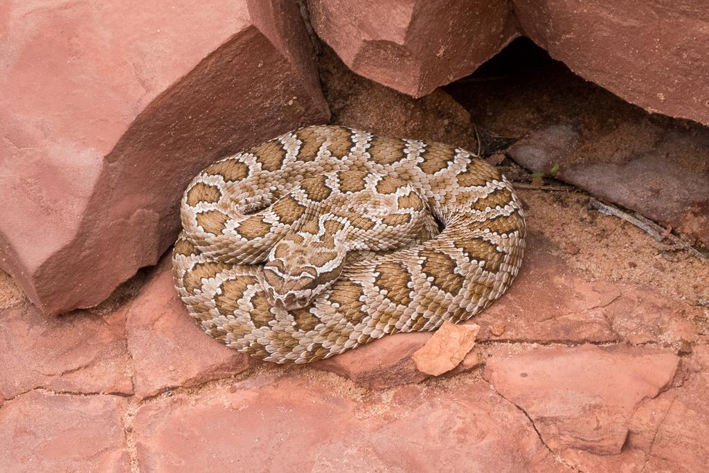 Bucktank Draw & Birthday Arch - Rattlesnake