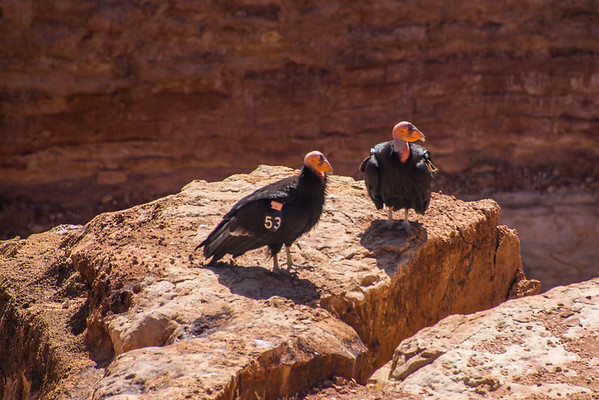 Marble Canyon Condors