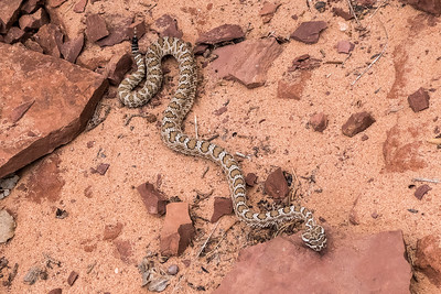 Bucktank Draw & Birthday Arch - Rattlesnake