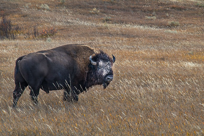 Buffalo, Badlands NP