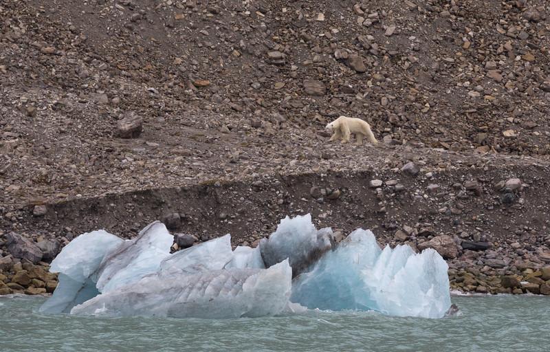 A male polar bear on the shore of Croker Bay