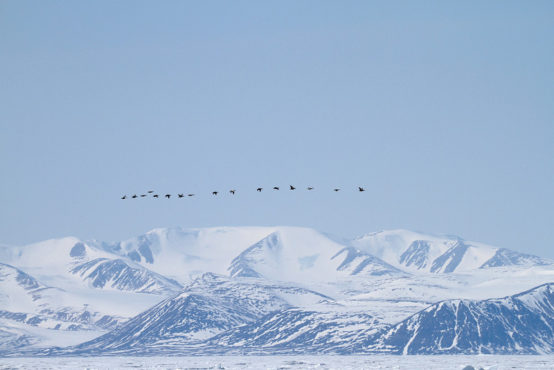 A string of Eider Ducks in front of  the mountains