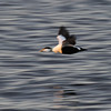 A fly-past by an Eider Duck