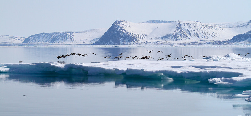 King Eiders - they were passing in front of us in huge numbers