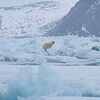 A Polar Bear arrived on the pack ice as it blew towards the ice edge