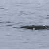 The first view of a Narwhal tusk, just visible in the water